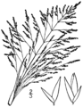 Sporobolus airoides BB-1913.png