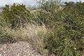 Sporobolus contractus - Flickr - aspidoscelis (15).jpg