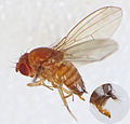 Spotted-wing Drosophila (Drosophila suzukii) female (15195497409).jpg