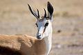 Springbok (3687261489).jpg