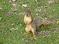 Squirrel (Sciurus niger) 07-01-2005 b.JPG
