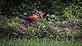 Sri Lankan junglefowl,(wali kukula), (Gallus lafayettii).jpg
