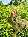 Sri Lankan wild rabbit side view.jpg
