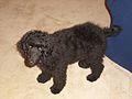 Standard black Poodle puppy.jpg