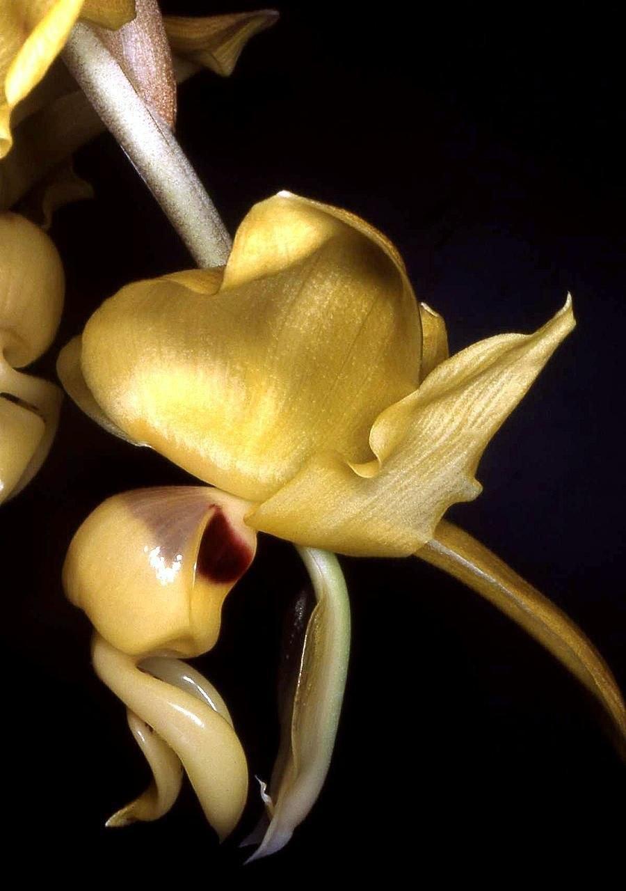 Stanhopea warszewicziana Orchi 02