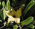 Stapelia gigantea-- the Zulu Giant (27535217395).jpg