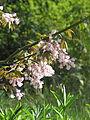 Staphylea holocarpa rosea (16630743394).jpg