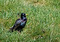 Starling - geograph.org.uk - 1276916.jpg
