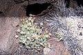 Starr-000502-1322-Tetramolopium humile subsp haleakalae-habit-HNP-Maui (23901947253).jpg
