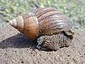 Starr-010310-0558-Sida fallax-giant African snail-West Maui-Maui (24236498610).jpg