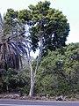 Starr-010330-0578-Pimenta dioica-habit-Rainbow Park Paia-Maui (23903904404).jpg