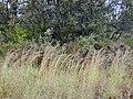Starr-011205-0110-Hyparrhenia rufa-habit-Hwy11 HAVO-Hawaii (24517749856).jpg