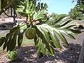 Starr-040318-0064-Artocarpus altilis-fruit-Maui Nui Botanical Garden-Maui (24072793753).jpg