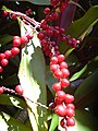 Starr-040509-0006-Cordyline fruticosa-fruit-Makawao-Maui (24584252082).jpg