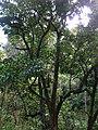 Starr-050107-2812-Syzygium malaccense-habit-Hana Hwy-Maui (24105668404).jpg