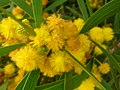 Starr-050525-1929-Acacia confusa-flowers-Water catchment-Kahoolawe (24762071325).jpg
