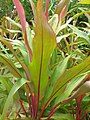 Starr-060916-8960-Cordyline fruticosa-leaves-Makawao-Maui (24865396395).jpg