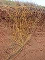 Starr-070404-6544-Cassytha filiformis-flowering habit on roadcut-Keomoku Rd-Lanai (24860542446).jpg