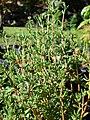 Starr-080812-9700-Thymus vulgaris-leaves-Makawao-Maui (24807095872).jpg