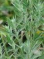 Starr-090426-6370-Chenopodium album-leaves-Lower Kula Rd Kula-Maui (24585012719).jpg