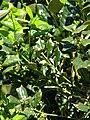 Starr-090514-7787-Ilex aquifolium-leaves-Kula-Maui (24861859521).jpg