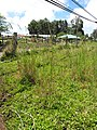 Starr-090609-0419-Lophostemon confertus-habit with Setaria sphacelata in pasture-Kokomo Haiku-Maui (24667944120).jpg