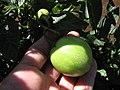 Starr-091020-8386-Solanum muricatum-fruit in hand-Kula Experiment Station-Maui (24355886674).jpg