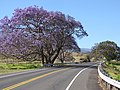 Starr-100505-5989-Jacaranda mimosifolia-flowering habit and road-Kula-Maui (24944359831).jpg
