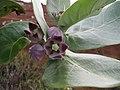Starr-101228-5907-Calotropis procera-flowers-Puu Moiwi-Kahoolawe (24763499170).jpg