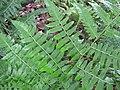 Starr-110307-2907-Diplazium esculentum-frond-Kula Botanical Garden-Maui (24960847602).jpg