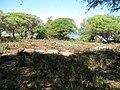 Starr-110312-6373-Solanum americanum-after tsunami-Kanaha Beach-Maui (25079587785).jpg