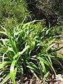 Starr-110411-4930-Dianella sandwicensis-flowering and fruiting form sandwicensis-Hawea Pl Olinda-Maui (24964329022).jpg