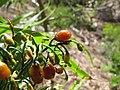 Starr-110411-4942-Dianella sandwicensis-brown fruit form sandwicensis-Hawea Pl Olinda-Maui (25056164426).jpg