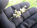 Starr-110503-5484-Parthenium hysterophorus-flowers with aphids-Kula-Maui (24464138634).jpg