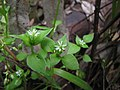 Starr-110519-5607-Stellaria media-flowers and leaves-Hawea Pl Olinda-Maui (25002141941).jpg