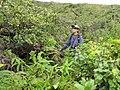 Starr-110827-8570-Polyscias oahuensis-habitat with Kim-Waihee Ridge Trail-Maui (24477210493).jpg