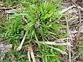 Starr-120608-7310-Cenchrus purpureus-outplanted and grazed-Ulupalakua Ranch-Maui (25052014741).jpg