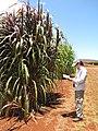 Starr-120702-7884-Cenchrus purpureus x glaucum-Hoolehua PMC hybrid Pearl Millet x banagrass purple var with Kim-USDA Plant Materials Center-Molokai (25092944621).jpg