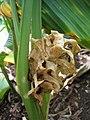 Starr-121108-0744-Curcuma longa-spent flower-Pali o Waipio-Maui (24565419914).jpg