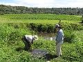 Starr-130322-3810-Ageratum houstonianum-habitat with Kim Uyehara and Kim cheking out fish exclusion device-Hanalei NWR-Kauai (25091470292).jpg