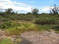 Starr-130617-2459-Cyperus laevigatus-habit in Pluchea opening-Kealia Pond NWR-Maui (25185675406).jpg