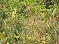 Starr-150108-3378-Caesalpinia decapetala-habit after control-Kekaulike Ave Kula-Maui (24896721219).jpg