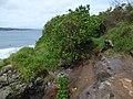 Starr-180421-0015-Thespesia populnea-habit by path to ocean-Honolua Lipoa Point-Maui (28571978087).jpg