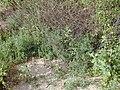 Starr 020116-0038 Bassia hyssopifolia.jpg