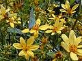 Starr 020622-0047 Bidens micrantha subsp. kalealaha.jpg