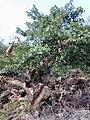 Starr 030202-0124 Ficus microcarpa.jpg