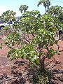 Starr 030523-0045 Hibiscus brackenridgei subsp. brackenridgei.jpg