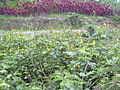 Starr 040209-0317 Senna alata.jpg