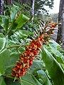 Starr 040220-0323 Hedychium gardnerianum.jpg