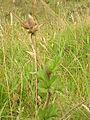 Starr 050816-3655 Pelargonium capitatum.jpg